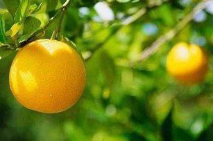 从一株小橘树想起