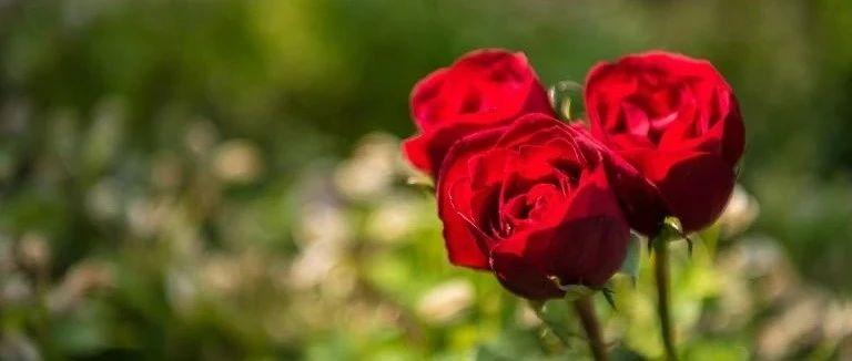 童话 | 玫瑰种子